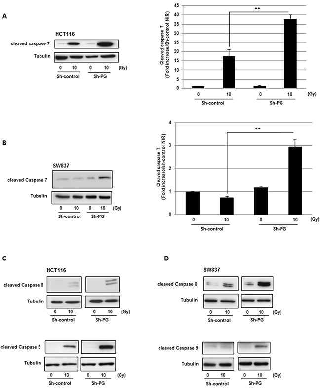 Down-regulation of PG gene expression in CRC cells increases radio-induced caspases cleavage.