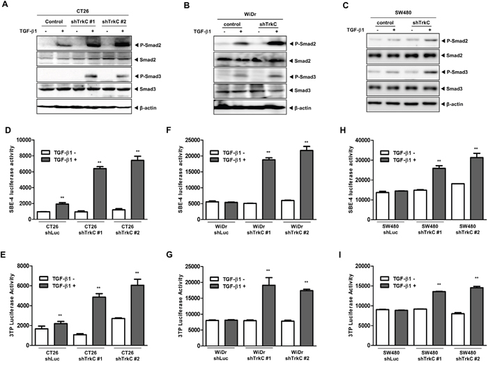 Knockdown of TrkC restores TGF-β signalling.