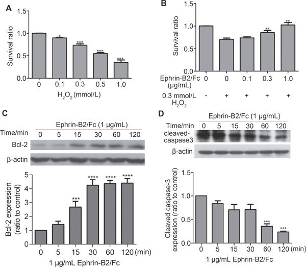 Ephrin-B2 inhibits HUVEC apoptosis.