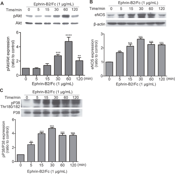 Effects of ephrin-B2 on signaling pathways in HUVECs.