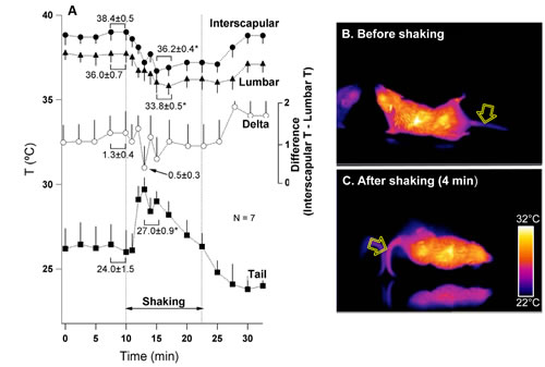Fig 5: Provocative motion causes rise in tail temperature associate with falls in the interscapular and lumbar temperature in the house shrew (