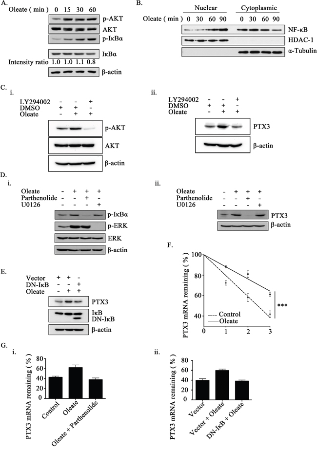 The activation of NF-κB is essential for oleate-induced PTX3 expression.