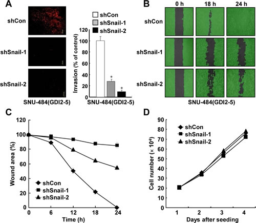 Inhibition of Snail suppresses RhoGDI2-induced gastric cancer cell invasion and migration.