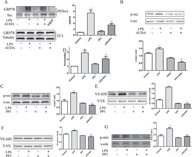 AUDA inhibited LPS-induced hyperpermeability by regulating GRP78 mediated SRC activation.