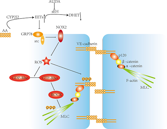 Proposed model about the mechanisms by which CYP2J2 regulated LPS-induced barrier dysfunction.
