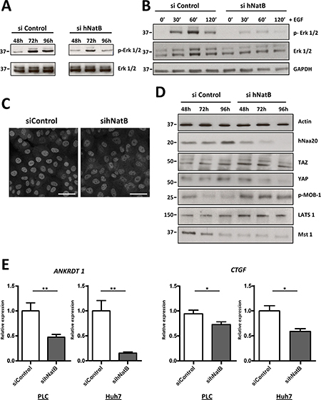 ERK1/2 and Hippo/YAP signaling pathways are inactivated when NatB is inhibited.