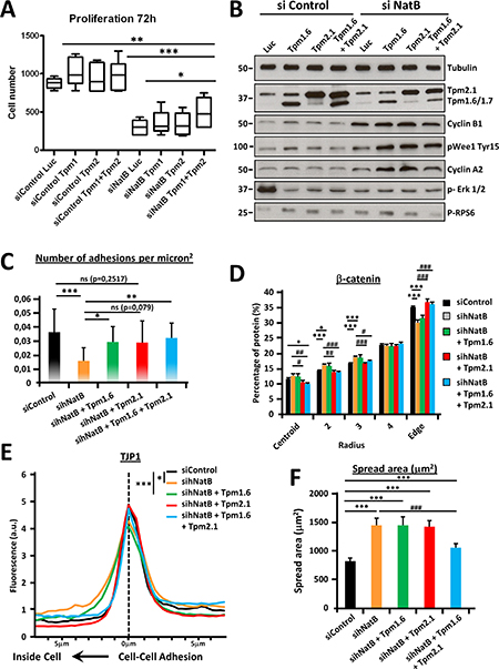 Tropomyosin 2.1 and 1.6 functional deficiencies mediate proliferation and cytoskeletal defects associated with hNatB downregulation.