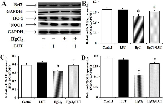 Treatment with luteolin activated the Nrf2 pathway and protected the liver against HgCl2-induced injury.