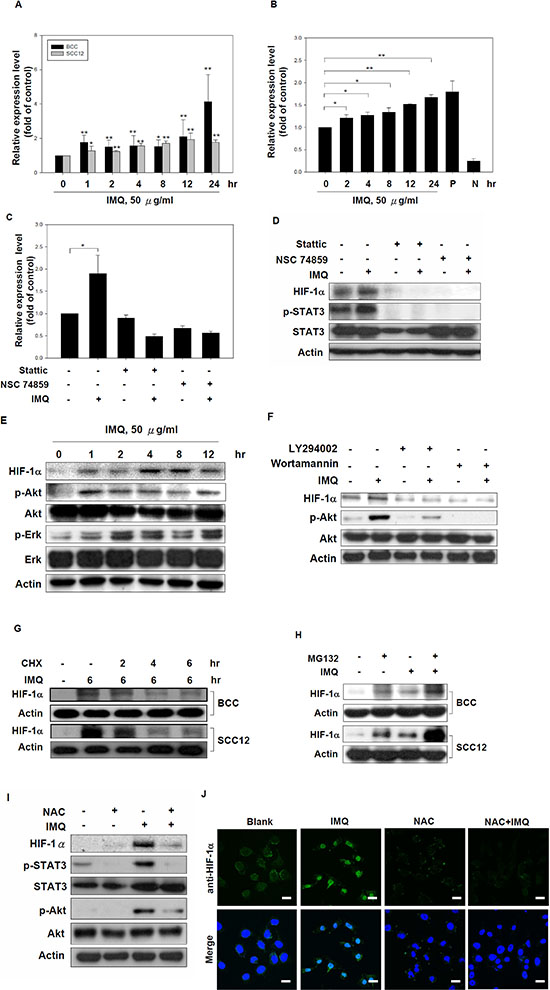 IMQ increased HIF-1α expression at the transcriptional and translational levels.