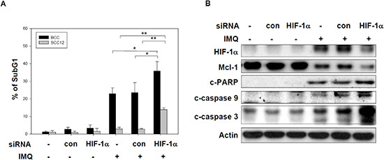 HIF-1α expression are involved in IMQ-induced apoptosis in tumor cells.