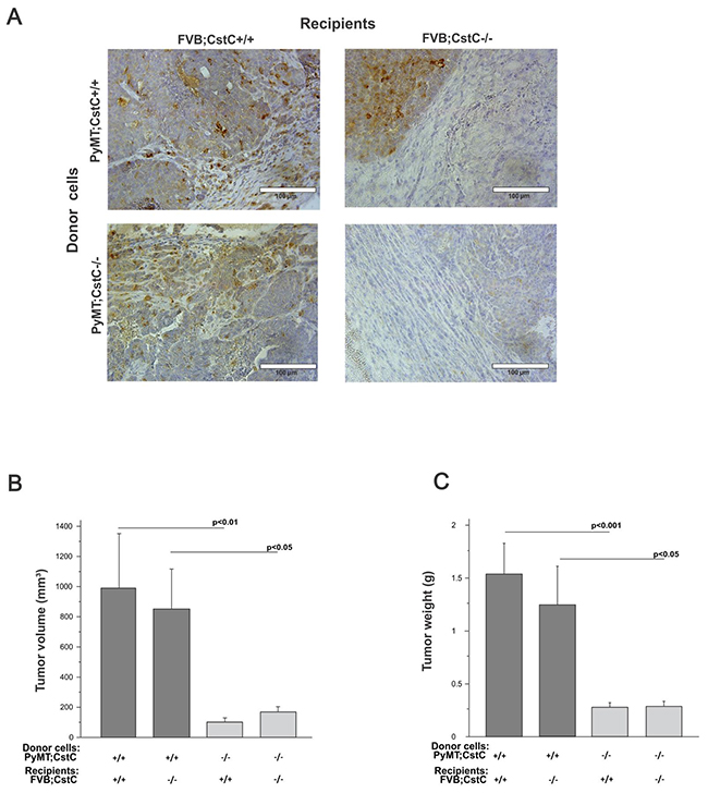 Orthotopic transplantation through intra-mammary injection of PyMT cells of both cystatin C genotypes into congenic recipients of both cystatin C genotypes.