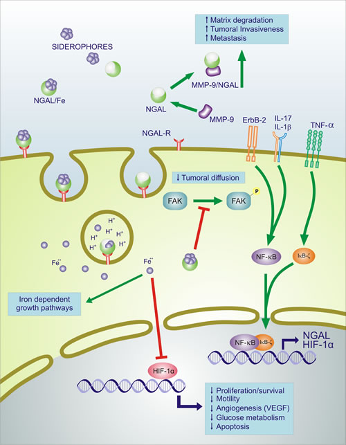 Effects of NGAL on survival, motility, angiogenic, apoptotic and glucose metabolism.