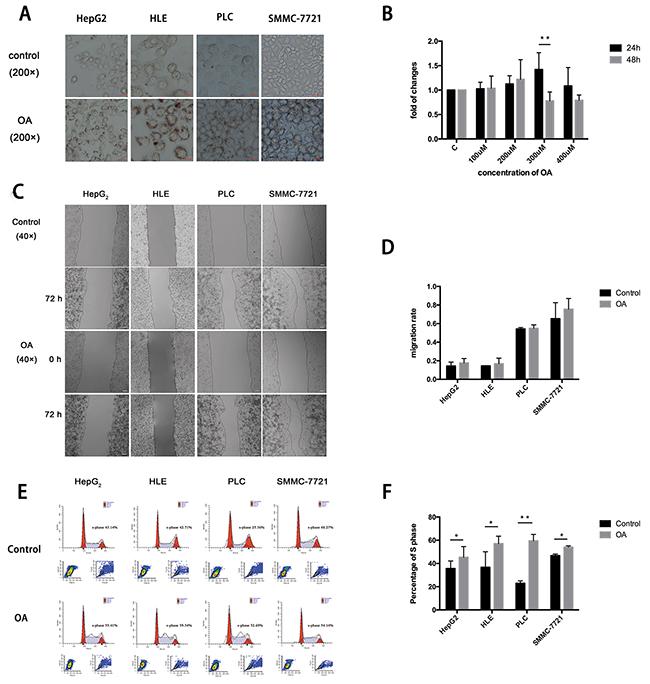 OA promotes HCC cells proliferation, migration.