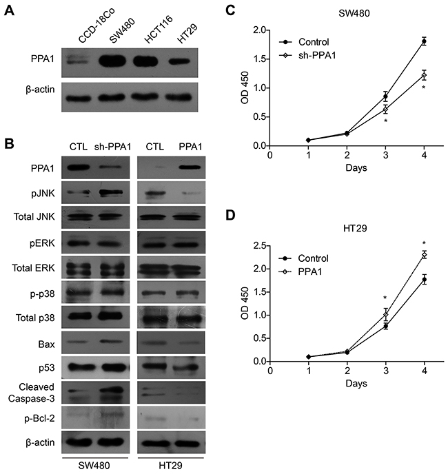 PPA1 promotes proliferation in colon cancer cell lines.