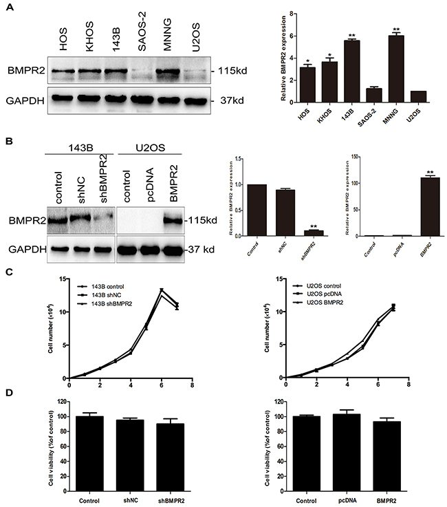 Effect of BMPR2 expression on the proliferation of osteosarcoma cells.