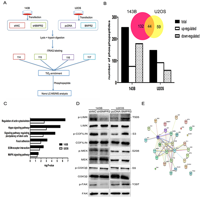A quantitative phosphotyrosine proteomic analysis was performed as described in the materials and methods.