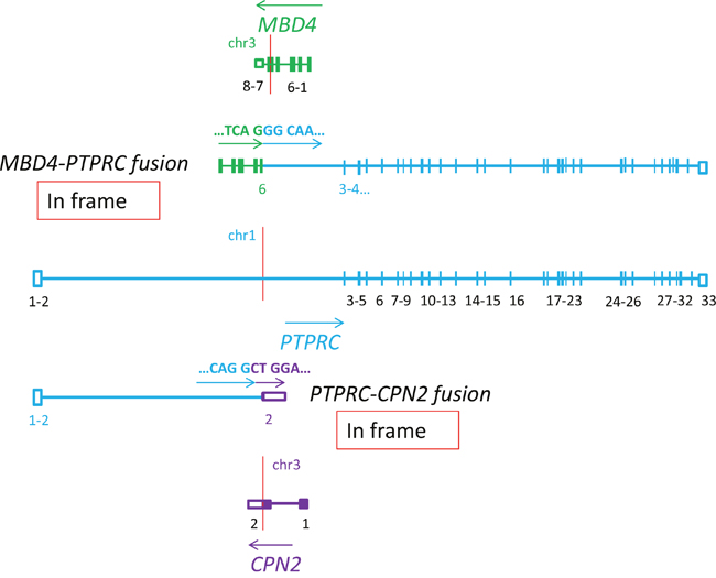 Schematic representation showing that the PTPRC gene, encoding the important T-cells antigen CD45, is involved in two in frame fusions: MBD4-PTPRC and PTPRC-CPN2 (P6).