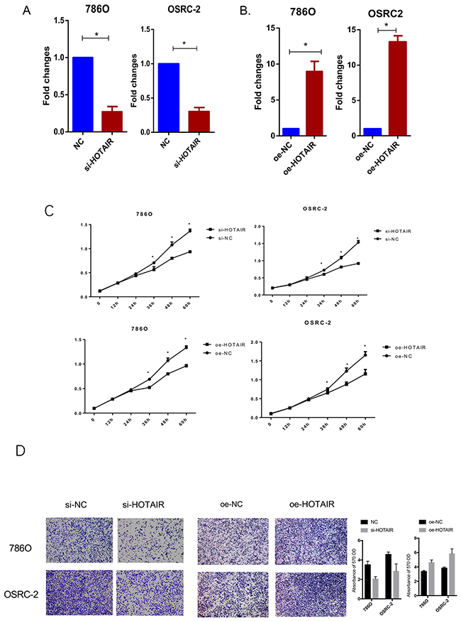 Knockdown and overexpression of HOTAIR affect RCC cell proliferation and migration.