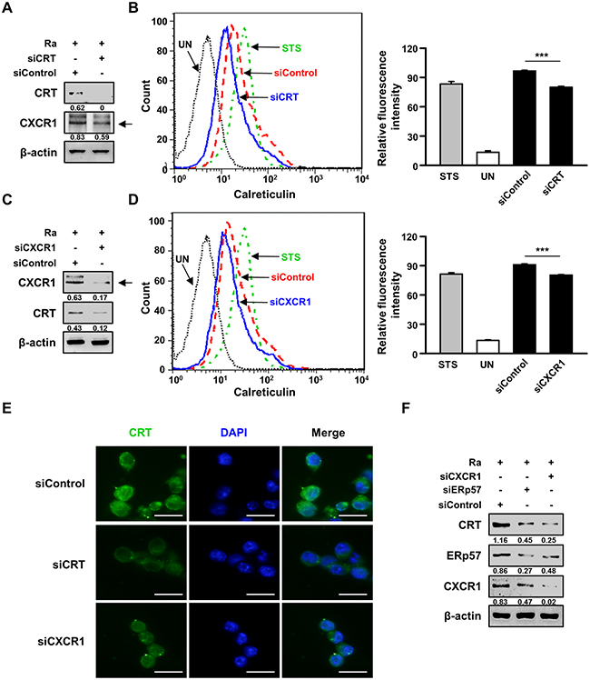 The interaction between CRT and CXCR1 activates the extrinsic apoptotic pathway during Mtb infection.