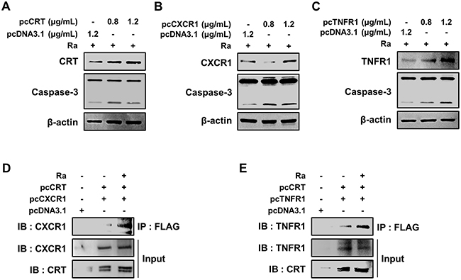 Formation of the CRT/CXCR1/TNFR1 complex increases caspase activation in Mtb-infected macrophages.