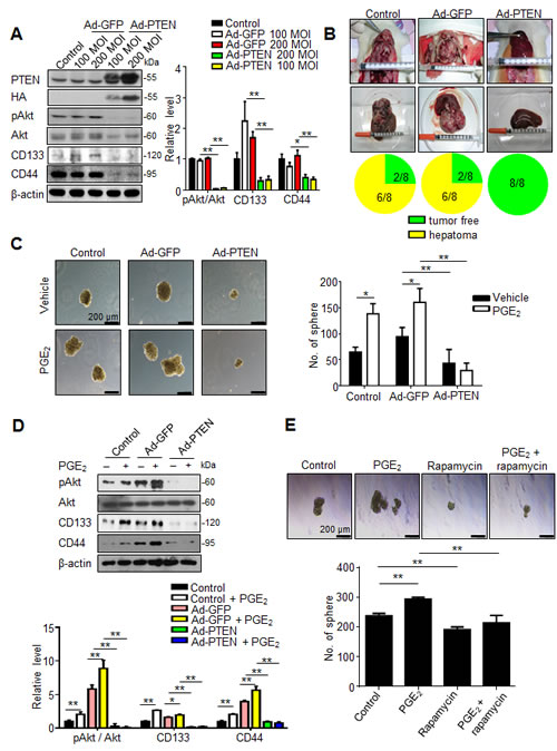 Fig 6: PTEN overexpression suppresses cancer stemness and tumor initiating.