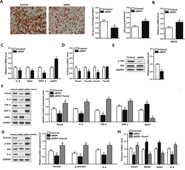 FoxOs abolish the suppression of αMSH on inflammation in mice adipocytes.