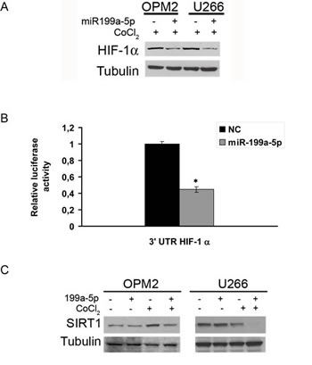 Figure 2:miR-199a-5p targets HIF-1α and reduces HIF-1α and SIRT1 protein expression in hypoxic MM cells.