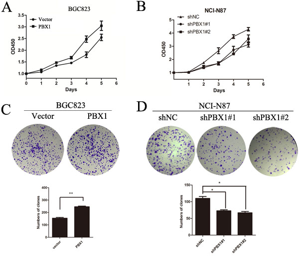 Effects of PBX1 on GC cell growth.