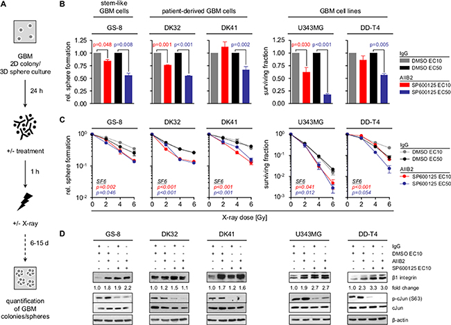 Co-targeting of β1 integrin and JNK sensitizes GBM cells to radiotherapy.