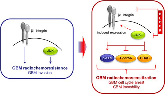 Scheme depicting the effect of the dual β1 integrin and JNK targeting approach on GBM radioresistance and invasion.