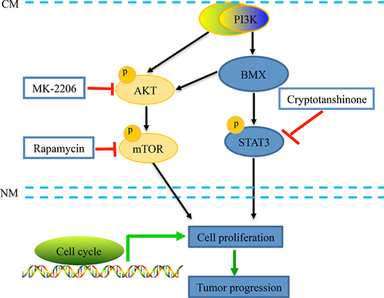 A schematic diagram of the BMX-mediated AKT and STAT3 pathway activation in human cervical cancer cells.