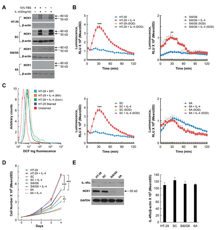 Effect of IL-4 on NOX1 protein expression, ROS production, and cell proliferation in HT-29 cells.