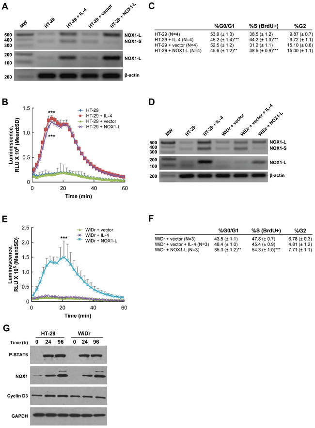 Functional activity of NOX1 correlates with colon cancer cell proliferation.