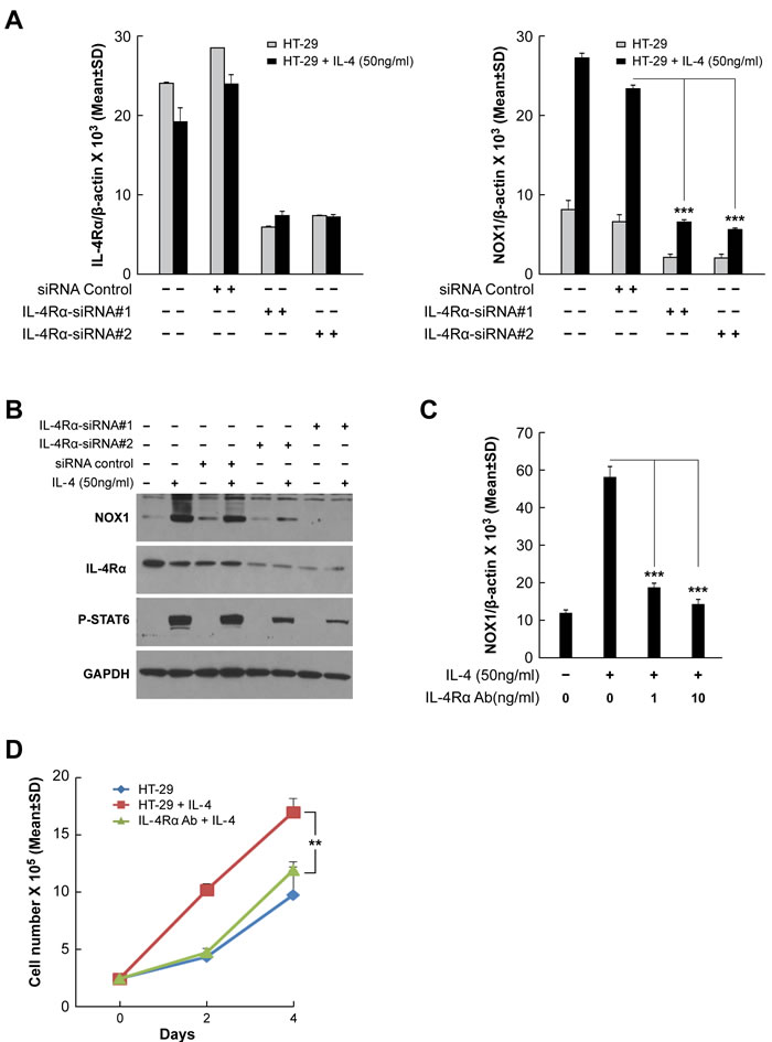 Inhibition of IL-4R blocks IL-4-induced NOX1 expression.