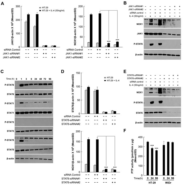 JAK1/STAT6 activation is required for IL-4-induced NOX1 expression.