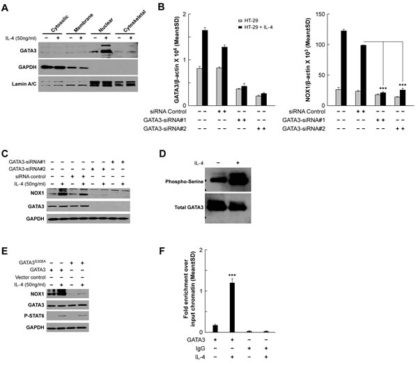 GATA3 plays a role in the transcriptional regulation of NOX1.
