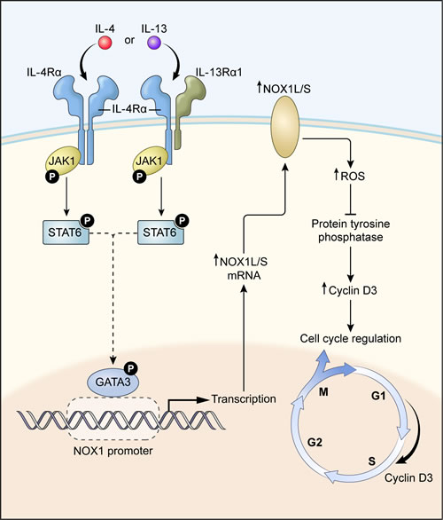 A proposed model for IL-4/IL-13-induced NOX1 expression and colon cell proliferation.