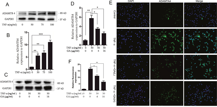 GA inhibits TNF-α-induced secretion of ADAMTS4 in hNPCs.