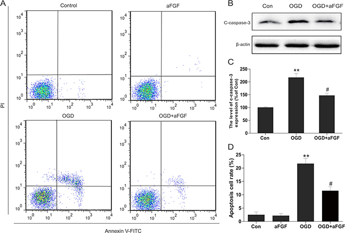 aFGF inhibits OGD-induced apoptosis in PC12 cells.