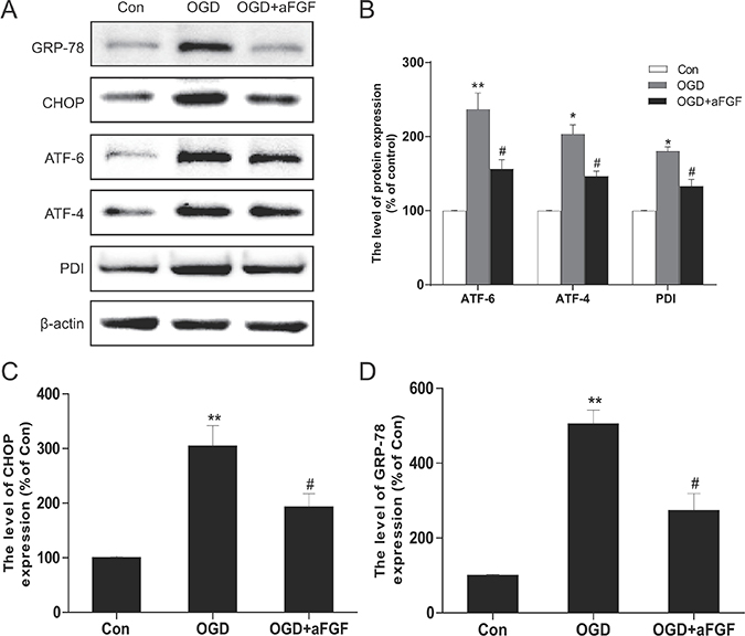 aFGF inhibits OGD-induced ER stress-related protein expression in PC12 cells.