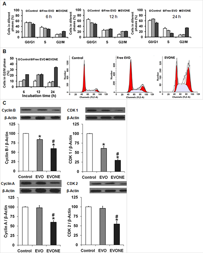 Effects of EVONE on the cell cycle arrest and protein expressions of cyclins and CDCs in human A549 lung cancerous cells.
