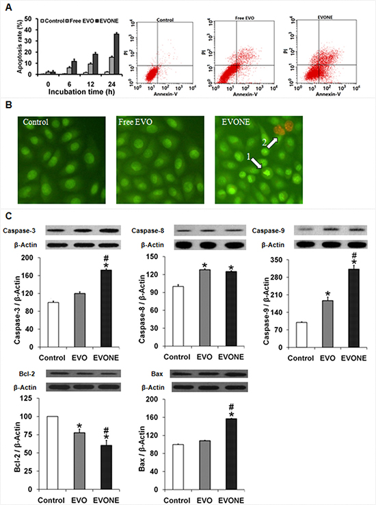 Effects of EVONE on the apoptosis and protein expressions of caspase −3, −8, −9, Bax and Bcl-2 in human A549 lung cancerous cells.