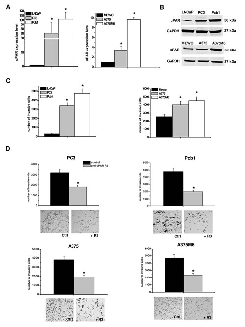 uPAR expression and function in mesenchymal invasion of prostate cancer and melanoma cells.