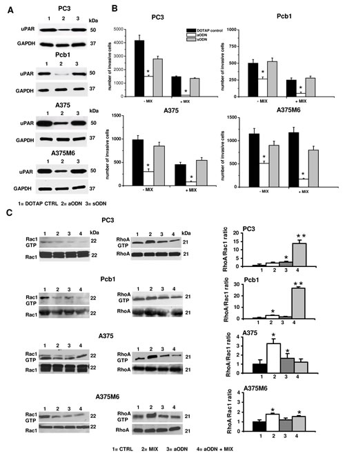 Effects of uPAR silencing with uPAR-aODN on invasion and small Rho-GTPases activation in mesenchymal and amoeboid conditions of prostate and melanoma cancer cells.