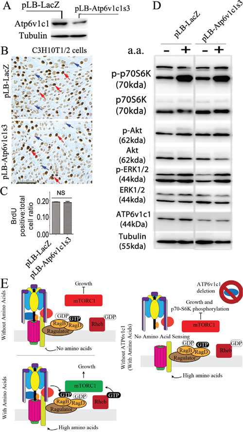 Atp6v1c1 knockdown does not affect cell proliferation and mTOR pathway activation stimulated by amino acids in the C3H10T1/2 immortalized primary cell line.