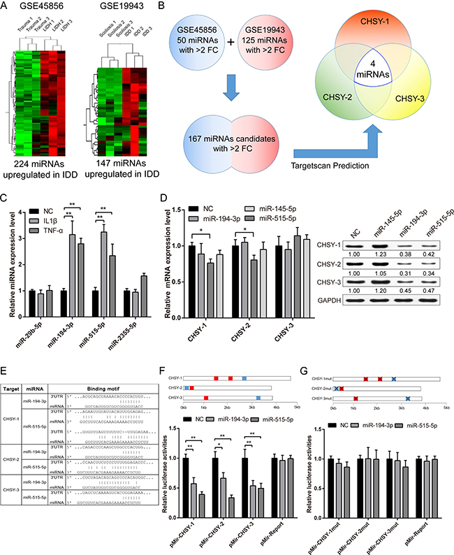 Screening and validation of CHSY targeted microRNAs.