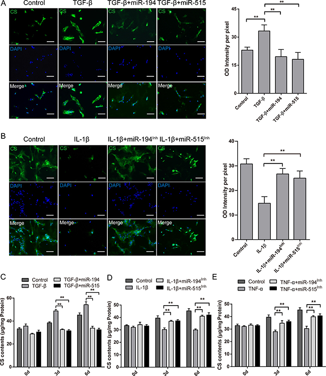 Effects of miR-194, -515 on inflammatory cytokines modulated chondroitin sulfate content in human NP cells.