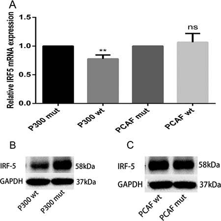 p300 inhibits mRNA and protein expression levels of IRF5.