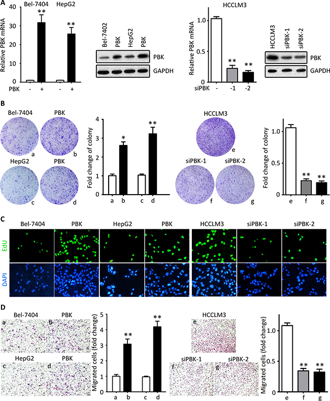 PBK promotes HCC cell proliferation and migration in vitro.