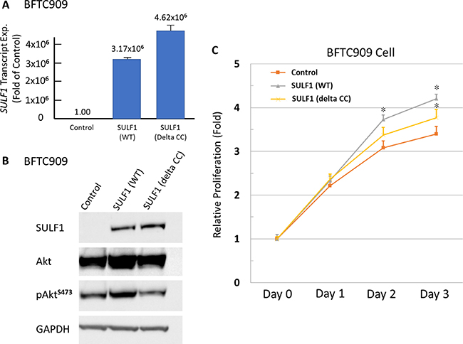 Exogenous SULF1 expression promotes UC cells proliferation in vitro.